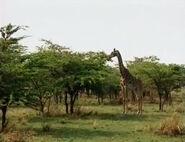 HugoSafari - Giraffe08