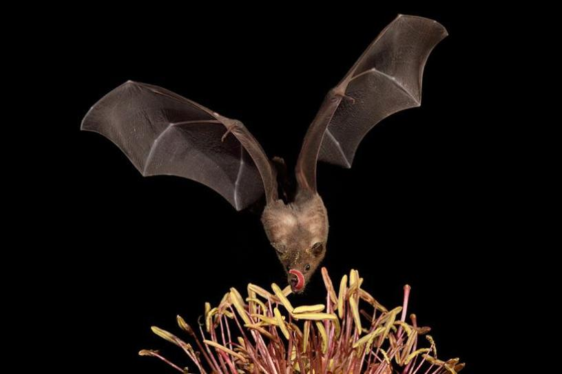 Greater Long-Nosed Bat
