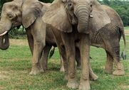 New-elephants