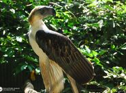 Philippine Eagle (V2)