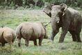 Rhinoceros Vs Elephant