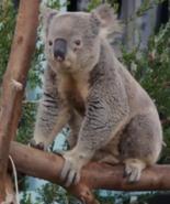 SDZ TV Series Koala