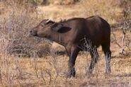 African buffalo calf