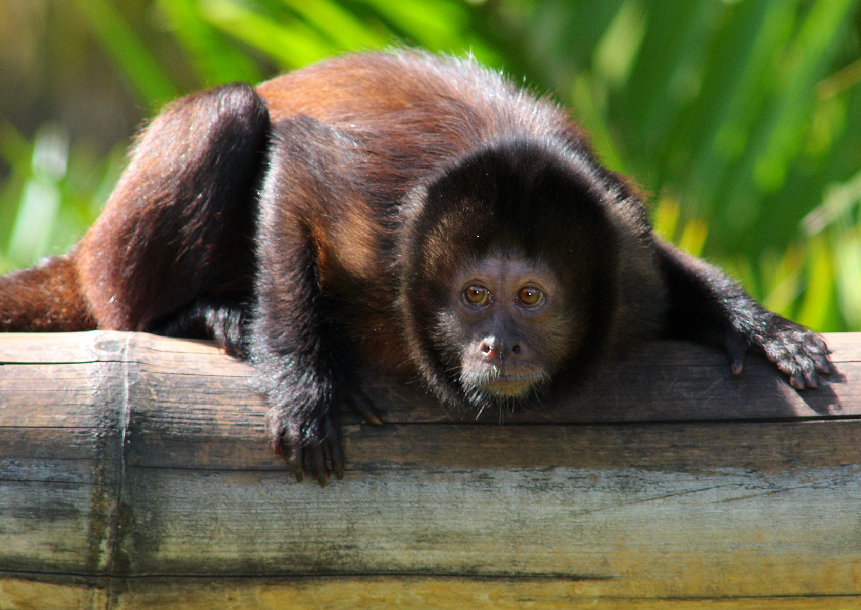 Crested Capuchin