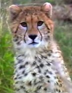 DAKTFA Cheetah