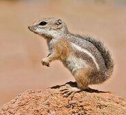 Harris-Antelope-Ground-Squirrel2