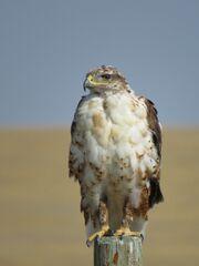 Hawk, Ferruginous.jpg