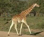 HugoSafari - Giraffe02