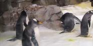 Kansas City Zoo Gentoo Penguin