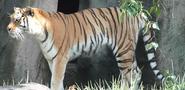 LPZ Tiger