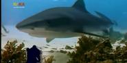 MMHM Shark