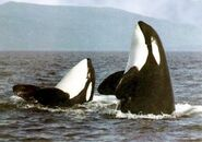 Male and Female Orcas