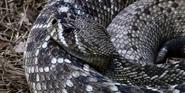 Riverbanks Zoo Rattlesnake