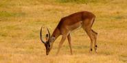 Cincinnati Zoo Impala