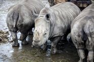 Crash of Rhinos at the River