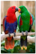 Eclectus Parrots (Male and Female)