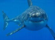 Great White Shark (V3)