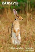 Hare, Indian