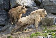 Male and female takins