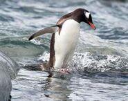 Penguin, Gentoo