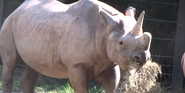 Saint Louis Zoo Rhino