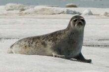 Sealsurvey 02.jpg