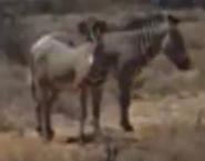 TAS Grévy's Zebras