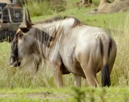 TMODAK Wildebeest