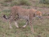 The Cheetah Guard