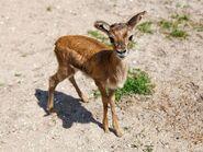 Thomson's Gazelle Fawn