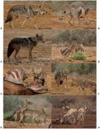 African Golden wolf pack