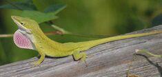 Anole Lizard.jpg
