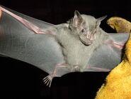 Bat, Jamaican Fruit