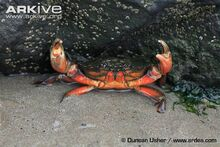 Edible-crab-in-the-defence-position-on-seashore.jpg