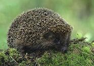 European hedgehog 1