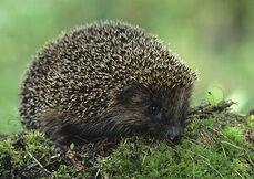 European hedgehog 1.jpg