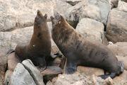 Fur seal, New Zealand.jpg