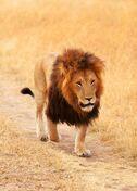 Lion (V2)