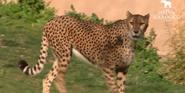 Lisbon Zoo Cheetah