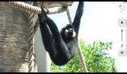 Niabi Zoo Gibbon