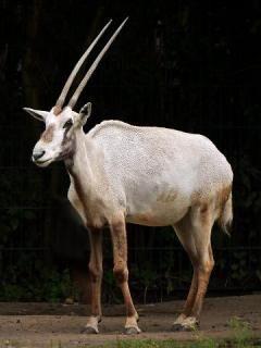 Oryx, Arabian.jpg