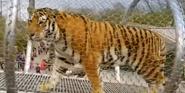 Phelidelphia Zoo Tiger