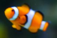 WWLZ&AQ Clownfish