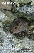Young-wood-mouse