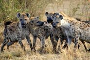 Eastern Spotted Hyenas