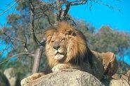Male Lion Lying on Rock