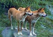 Male and Female Australian Dingos
