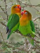 Male and Female Fischer's Lovebirds