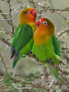 Male and Female Fischer's Lovebirds.jpg