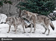 Male and Female Grey Wolves